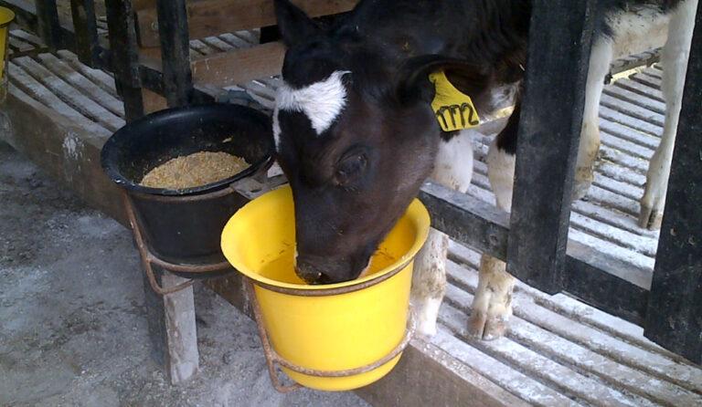 ¿Es la leche la fuente de nutrientes ideal para los terneros?