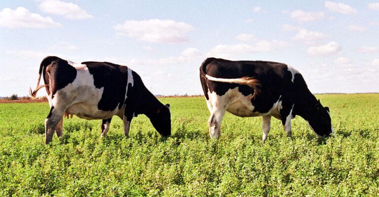 Sigue disminuyendo el número de vacas lecheras en Argentina