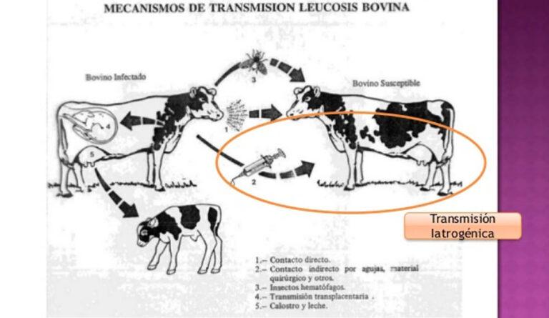 Un enfoque novedoso para controlar la Leucosis Bovina