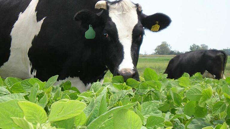 La soja para pastoreo puede ser un buen recurso forrajero