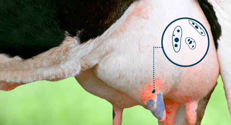 Como reducir los costos de mastitis clínica con cultivo en el tambo