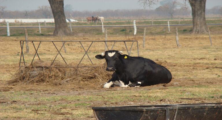 Enfermedades del período de transición en vacas lecheras: monitoreo y prevención