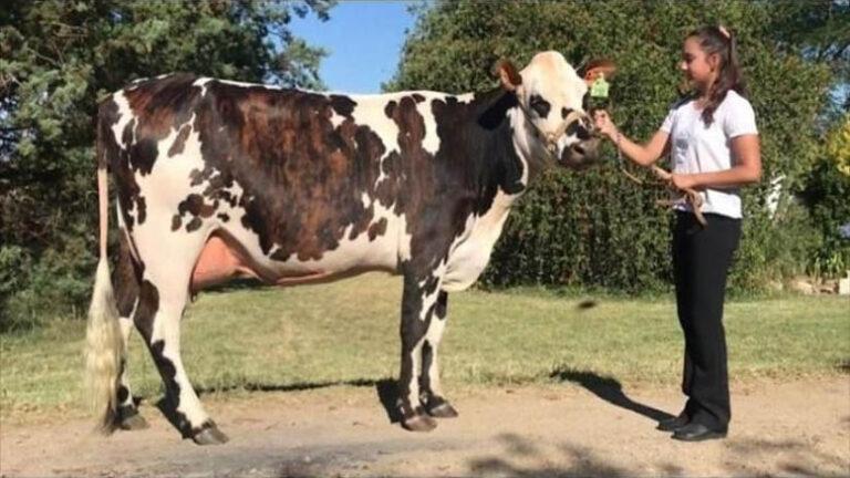 Esperanza Iluminada, la vaca uruguaya que está entre las cuatro mejores Normando del mundo