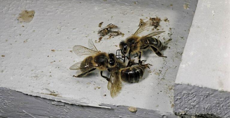 La producción de almendras está matando de cansancio a miles de millones de abejas