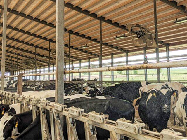 Amontonamiento de vacas en establos: causas y soluciones