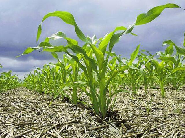 Tambo: se encarece fuerte el costo de hacer maíz para silo o grano