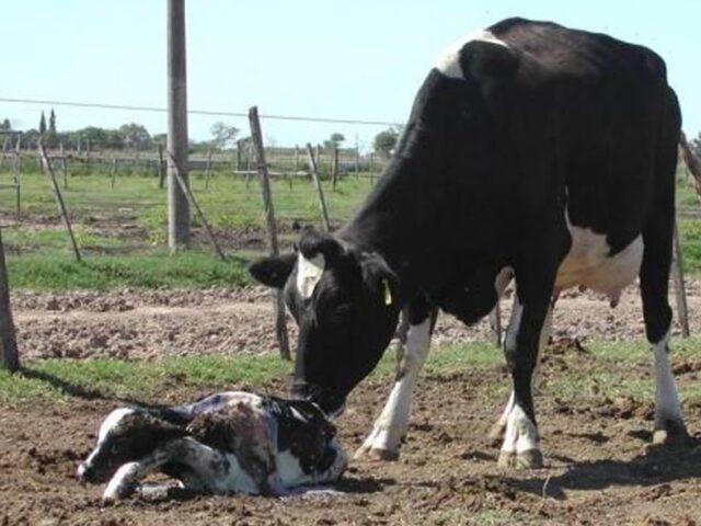 Atención de partos y del ternero recién nacido